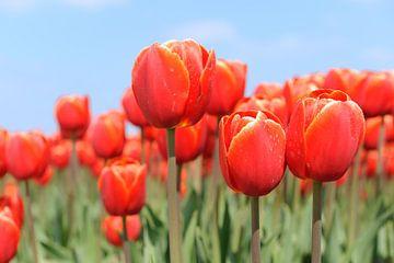 Rode tulpen in bollenveld van Ivonne Wierink