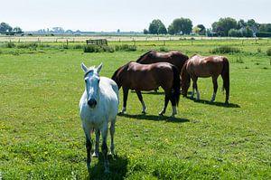 wit en bruine paarden in de wei