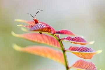 Kleine rode weekschildkever von Michiel Leegerstee