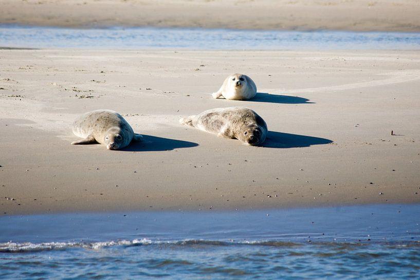 Zeehonden op het wad sur Jim van Iterson