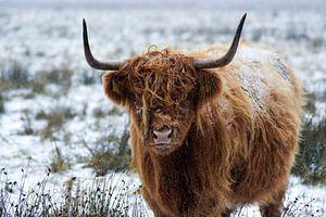 Schottischer Highlander im Schnee. von Esther van Engen