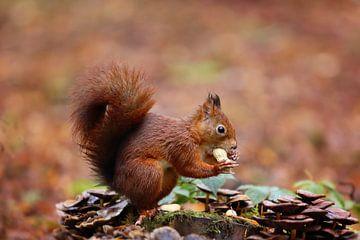 Eekhoorntje met een pinda van