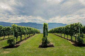 Wijngaarden Penticton van Joris Pannemans