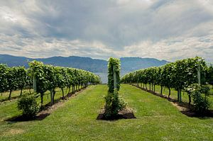 Vineyards Epenticton