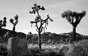 Joshua Tree 04 van Peter Bongers