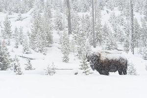 Amerikanischer Bison ( Bison bison ) im tief verschneiten Yellowstone National Park, Wyoming, USA.