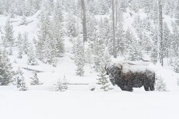 Amerikaanse bizon ( Bison bison ) in het diep besneeuwde Yellowstone National Park, Wyoming, USA. van wunderbare Erde
