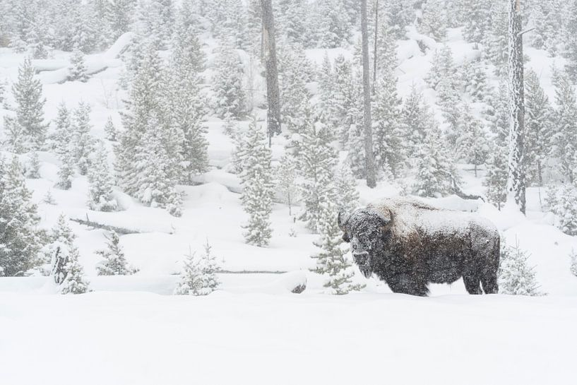 Amerikanischer Bison ( Bison bison ) im tief verschneiten Yellowstone National Park, Wyoming, USA. von wunderbare Erde