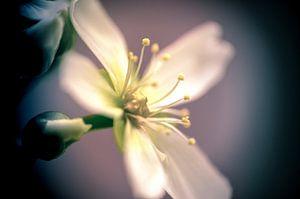 Dionaea's flower (single)