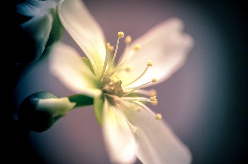 Dionaea's flower (single) van Alessia Peviani