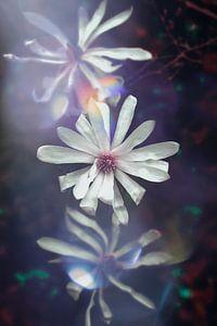 trio van bloeiende magnolia bloemen