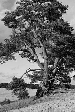 Een grove den in zwart-wit van Gerard de Zwaan