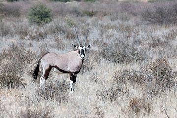 Oryx im Kgalagadi Transfrontier Park von Angelika Stern