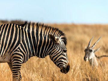 Zebra en Antilope aan het grazen van Rob Smit