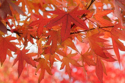 Het rood van de herfst van