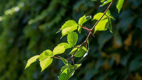 Zonlicht op bladeren van de Bougainvillea B
