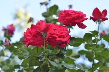 Rode rozen van Kim De Sutter