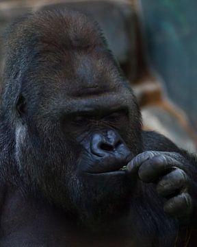 Gesicht eines brutalen Gorillamännchens in Nahaufnahme, Affen fressend von Michael Semenov