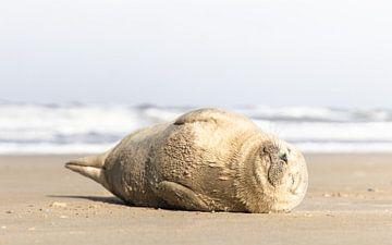 zeehond geniet van het voorjaarszonnetje van mitevisuals