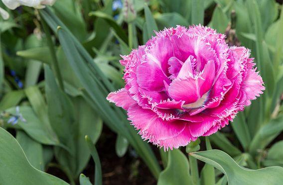 paarse tulp met witte kartels