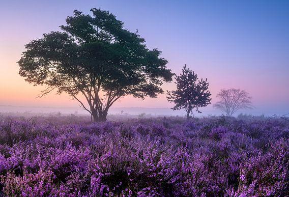 Bomen op de paarse heide