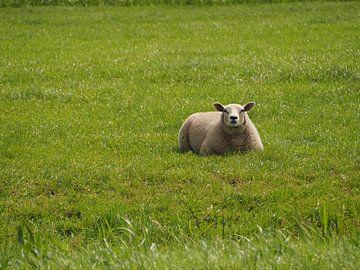 Schafe von Marieke