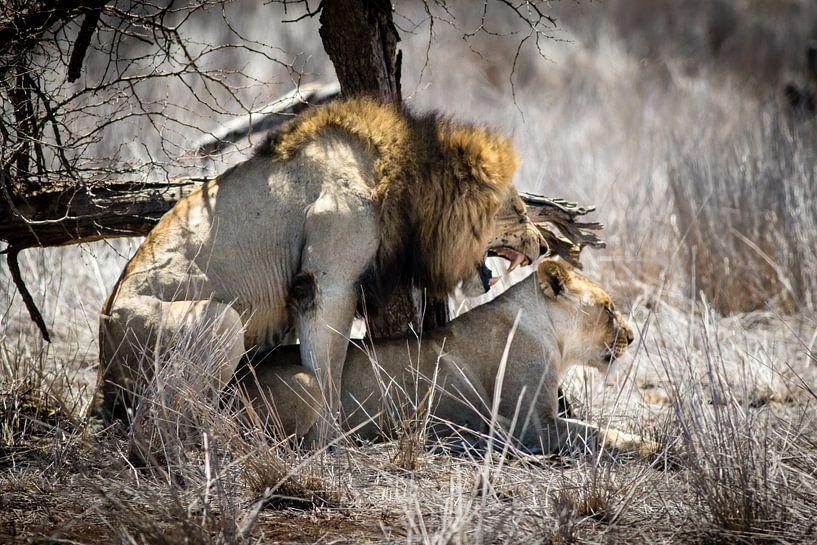 Gepassioneerde leeuwen van Marcel Alsemgeest