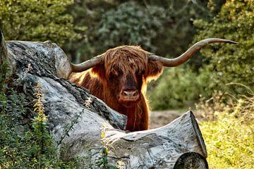 Schotse hooglander met gouden randje van Shirley Douwstra
