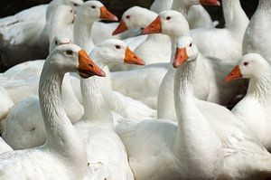Where's The Goose Girl?