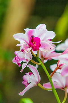 orchidee 6 von John van Weenen