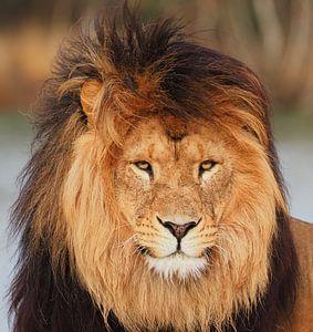 Leeuw in de wind van Eye to Eye Xperience By Mris & Fred