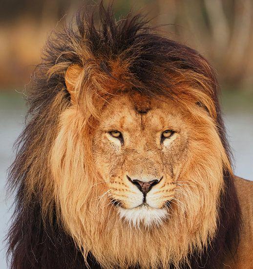 Leeuw in de wind
