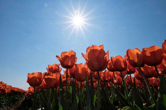 Rode tulpen in de Zon