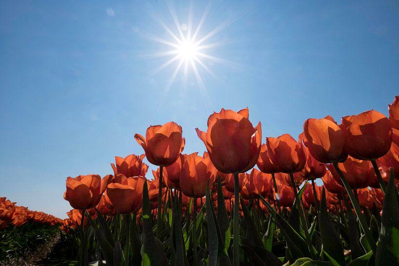 Rode tulpen in de Zon van Ruud van der Lubben