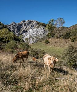 Weidekühe in der Berglandschaft der Picos de Europa