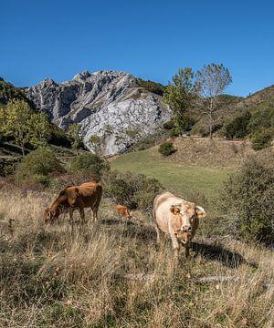 Grazende koeien in het berglandschap van de Picos de Europa van Harrie Muis