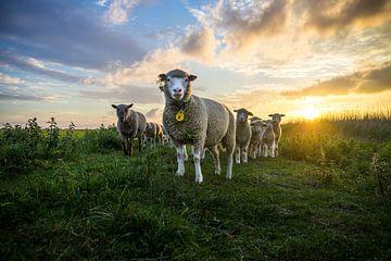 Schafe im Sonnenuntergangs von Jesse Barendregt