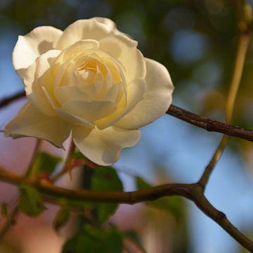 Witte roos van Georges Hoeberechts