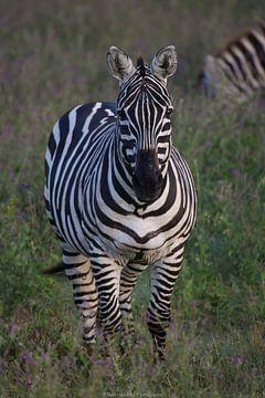 Zebra von Bart Hendriks