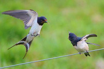 Aanvliegen met voer van Hannie de Graaff