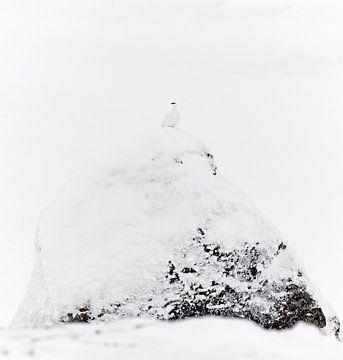 Tétras des neiges mâle (Lagopus mutus) sur un rocher dans la neige sur AGAMI Photo Agency