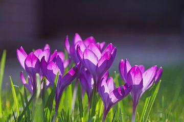 Erste Frühlingsboten-die Krokusse von cuhle-fotos