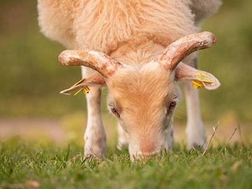 jong schaap, grazend van Henri van Rheenen