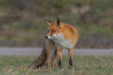 The bold fox van Anna Stelloo