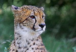 Gepard - Afrika wildlife von W. Woyke
