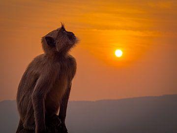 Een aap van adel op een heuvel in Pushkar India van Rik Pijnenburg