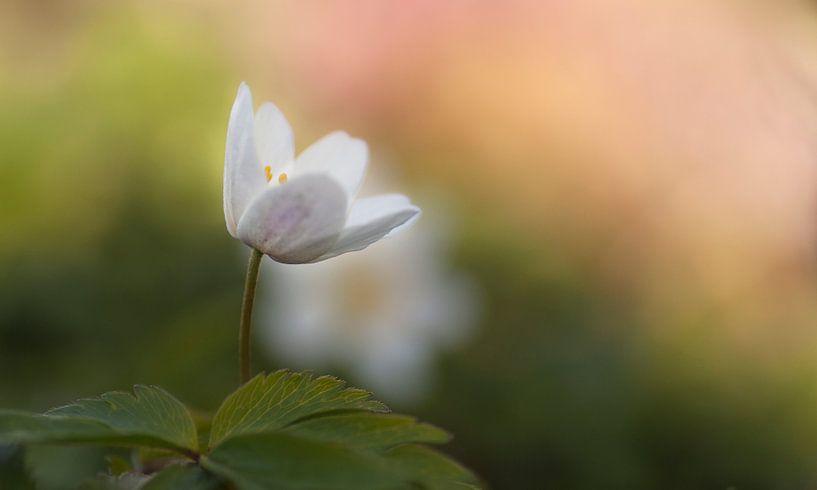 Witte bosanemoon in lentekleuren van Birgitte Bergman