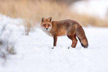 Vos in de sneeuw van Larissa Rand
