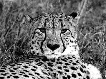 Rustende cheetah van