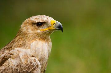 Eagle-Portrait (Aquila rapax) van Ursula Di Chito